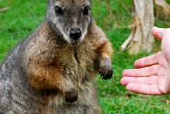 Feeding a Wallaby, Australia