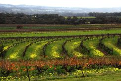 Vineyards, Barossa Valley, Australia