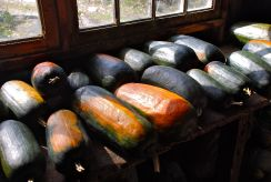 Autumn Squash, The Berkshires