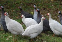 Guinea Fowl, The Berkshires