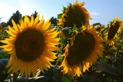 Sunflowers, Umbria, Italy